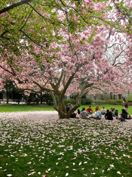 Magnolia tree Barnard College